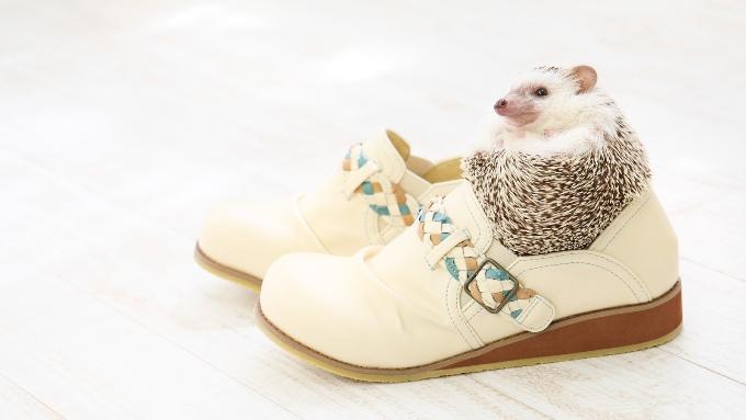 靴に入った、かわいいハリネズミの画像