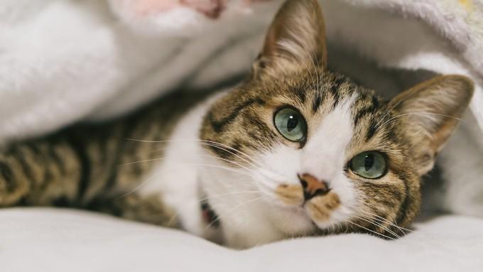 毛布に入って気持ちよさそうな猫の画像