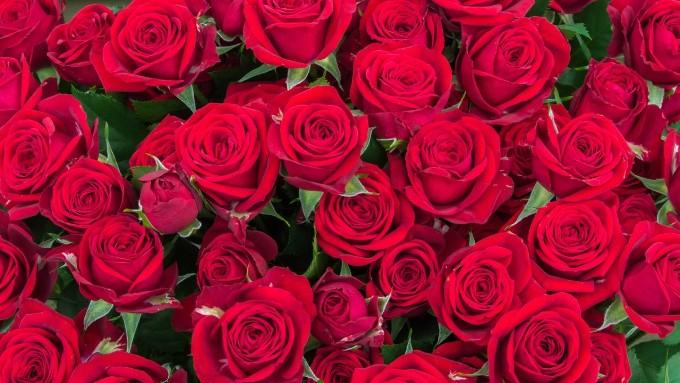 沢山の赤い薔薇の花の画像