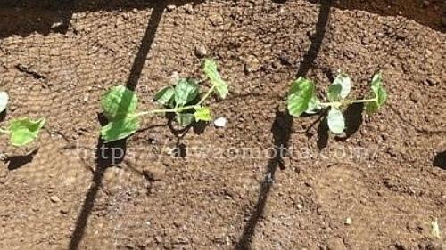 土にきゅうりの苗木を植えた画像