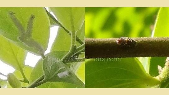柿の木についた虫と蝶の卵の画像