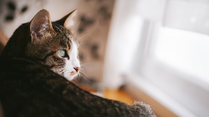 リビングで外を眺める猫の画像